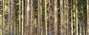 Mehrere Fichten im Wald mit abfallender Rinde