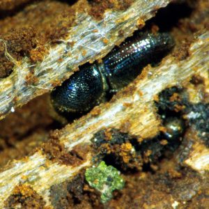 Kleiner schwarzer Käfer in einem Holzgang