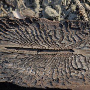 Rückseite einer Fichtenrinde mit zentralen Fraßgang von dem zahlreiche Seitenarme abgehen