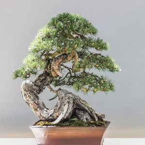 Bonsai in Schale, Kiefer, S-förmiger, knorriger Stamm