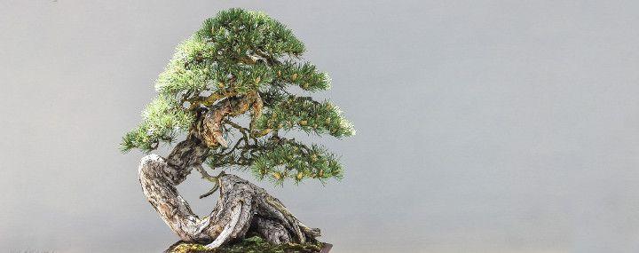 Mini-Baumpflege: Bonsai aus Waldbäumen erziehen - Baumpflegeportal