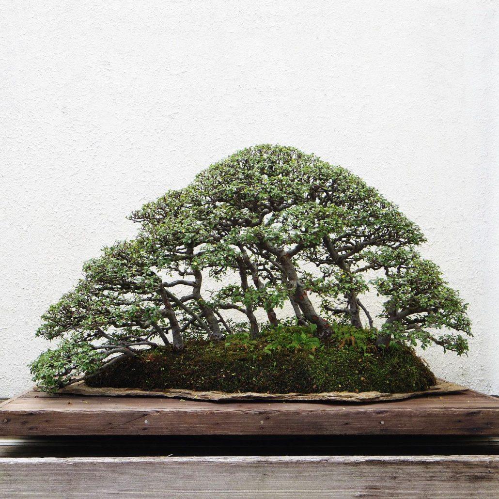 Mini Baumpflege Bonsai Aus Waldbäumen Erziehen