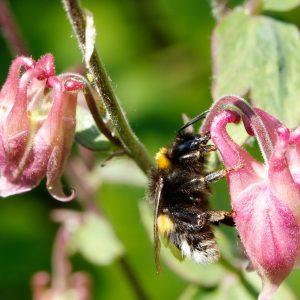 Eine Hummel sitzt auf einer Blüte
