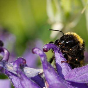 Hummel sammelt Pollen an einer lila Blüte