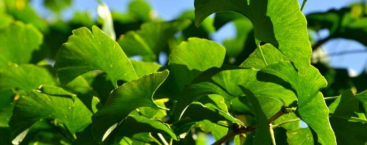 Blätter eines Ginkgo-Baumes