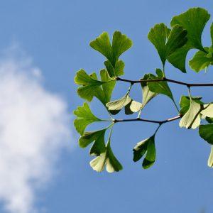 Ginkgo-Blätter an zwei Zweigen