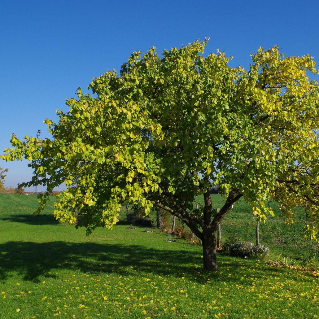 Hinweise Zur Anwuchsphase Junger Aprikosen Baumpflegeportal