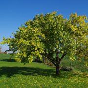Aprikosenbaum auf einer Wiese