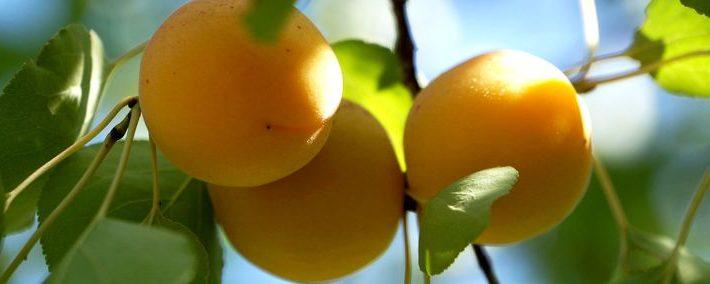 Saftige Aprikosen am Zweig