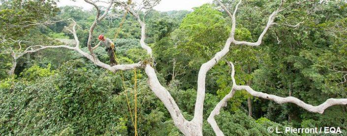 Ein Kletterer am Sicherungsseil im Gipfel eines Baumes über dem tropischen Dschungel