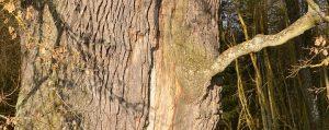 Große alte Eiche mit einem Riss über den ganzen Stamm