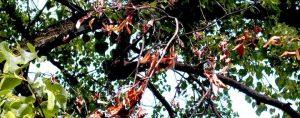 Zweig eines Obstbaumes mit rostbraunen Blättern
