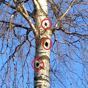 Birkenstamm mit symbolisierten Löchern