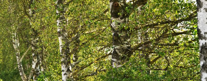 Mehrere Birkenbäume