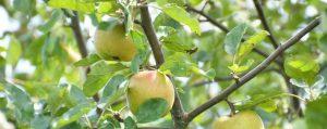 Zweige eines Apfelbaumes mit Früchten