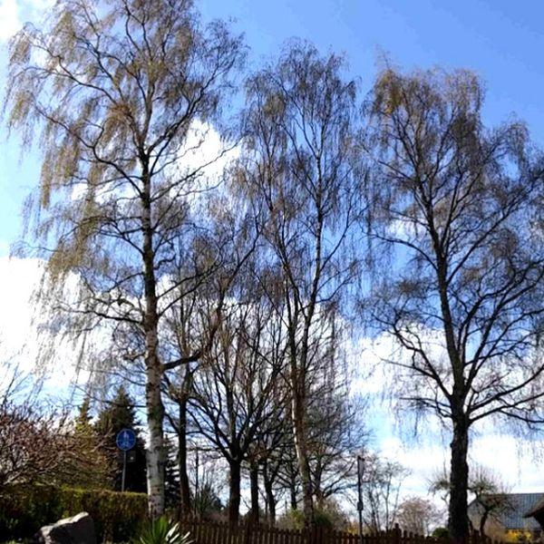 Birken Auf Dem Nachbargrundstück Ein Gefahr