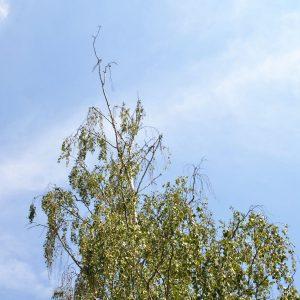 Birkenkrone mit totem Wipfel