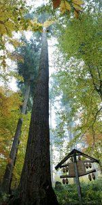 Mitten im Wald geht der Blick entlang eines langen Stammes hoch in die Wipfel