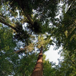 Blick in die Krone verschiedener Bäume im Wald
