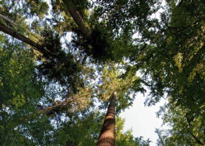170815_Heimische-Baumrekorde_Waldtraut-vom-Muehlwald_hoechster-Baum-Deutschlands_Krone-1030x1030