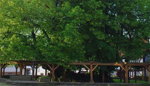 Alter Baum auf einem Marktplatz