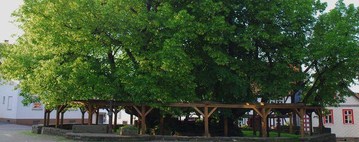 Ein Rekordbaum in Deutschland