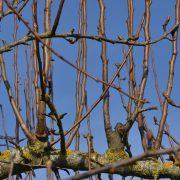 Kahle einjährige Triebe beim Apfelbaum