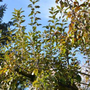 Apfelbaum mit starken einjährigen Trieben