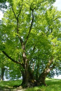 Baum mit dicken Stammfuss und mächtigen Ästen