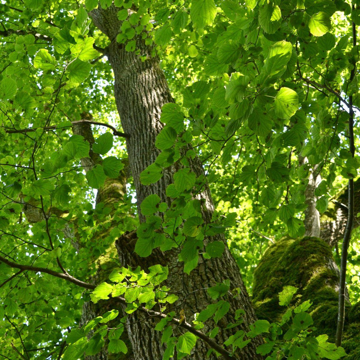 Starke Baumtypen: Tassilolinde von Wessobrunn