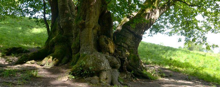 Dicker knochiger Stammfuss eines Baumes