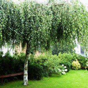 Hängebirke auf einer Wiese in einem Garten.