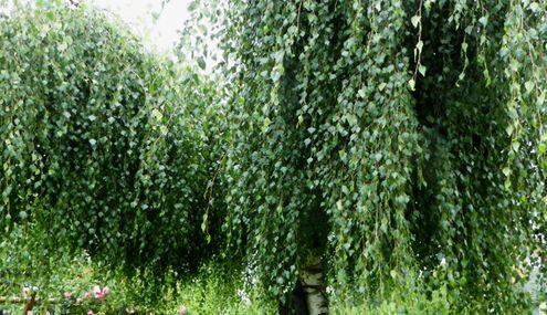 Krone einer Hängebirke mit den typisch hängenden Zweigen