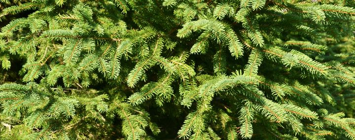 Baum Des Jahres 2017 Die Fichte Als Gartenbaum Baumpflegeportal