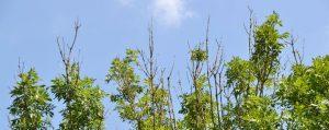 Eschenkronen mit abgestorbenen Zweigen