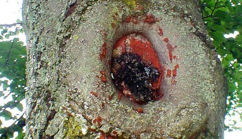 Alte Schnittstelle an einem Baumstamm, die mit einem roten Wundverschlussmittel überstrichen wurde