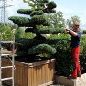 Ein Gärtner schneidet einen Baum in Form