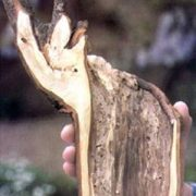 Quer halbierter Ast mit deutlich verfaulten Holz in der Mitte