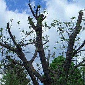 Von einem Baum sind nach dem Schnitt nur noch dicke Äste übrig