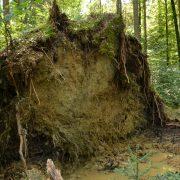 Wurzelteller der Fichte, bei Sturm entwurzelt wegen nassem Boden