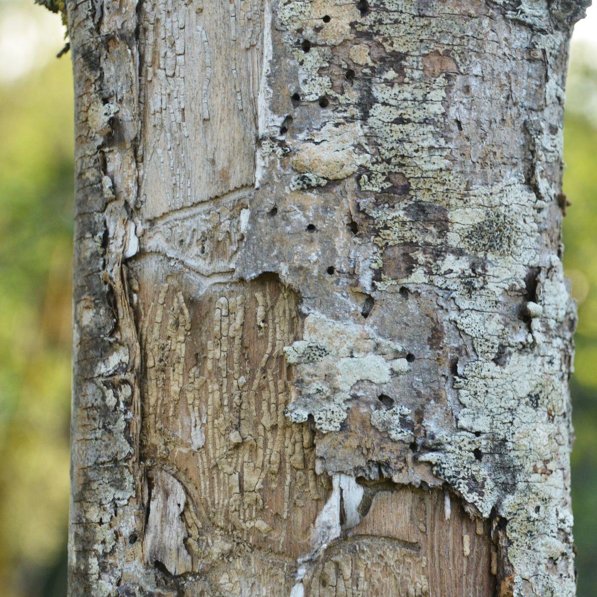 Eschentriebsterben - Pilz bedroht heimische Eschen