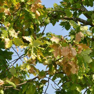 Äste einer Eiche mit teilweise verwekten braunen Blättern