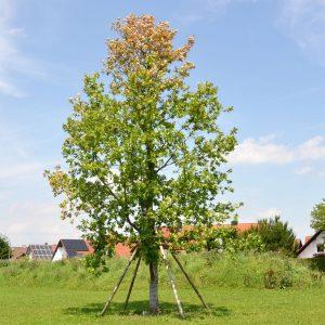 Kleiner Eichenbaum mit welken Blättern, gestützt durch Holzpfähle.