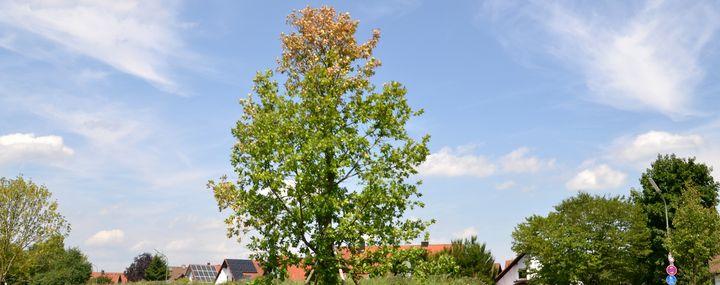 In einer Siedlung steht ein Eichenbaum mit brauner Krone