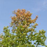 Krone einer Eiche mit braunen Blättern