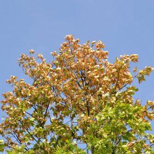 Braune und gelbe Blätter in einer Eichenkrone