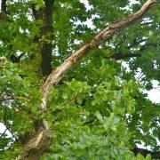 Alter toter Ast in der Krone eines Baumes