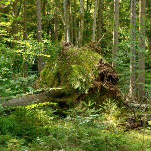 Samt Wurzelteller umgefallener Baum