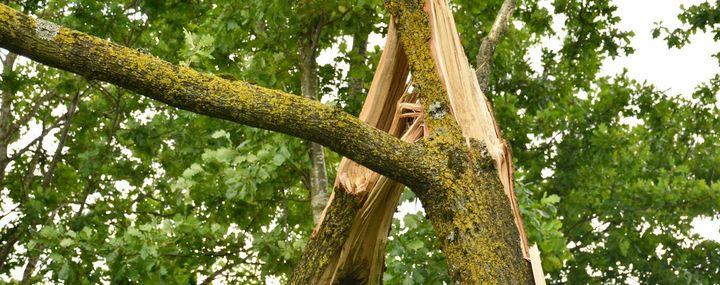 Starker Ast in der Krone eines Baumes ist abgebrochen
