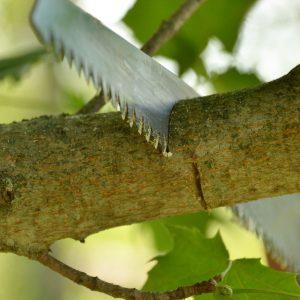 Säge schneidet an der Astoberseite eines Ahornastes.